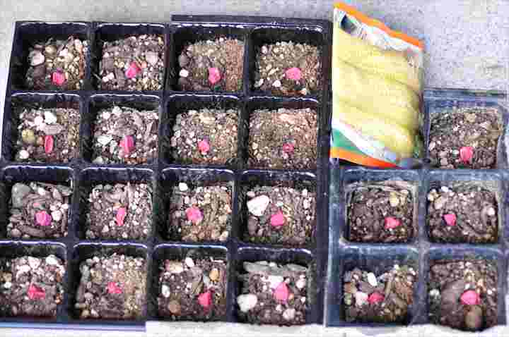 トウモロコシの種発芽