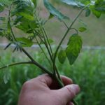 トマトの脇芽